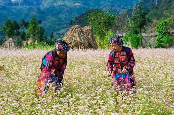 Những sơn nữ bên màu hoa tam giác mạch Hà Giang ngọt ngào
