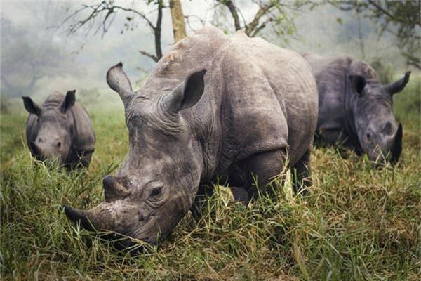 Hình chụp những con tê giác trắng cực kỳ quý hiếm ở Uganda của Stefane Berube  - Ảnh đoạt giải khuyến khích /hạng mục Khoảnh khắc tức thời.