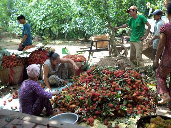 Miệt vườn trái cây ở cù lao Tân Qui Trà Vinh