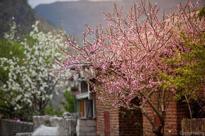 Vào mùa xuân, Hà Giang còn có thơm màu đào phai rực rỡ