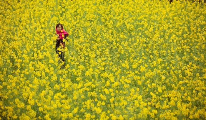 Đi trong sắc vàng hoa cải mùa đông Hà Giang
