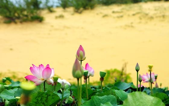 Bàu trắng Phan Thiết mùa hoa sen nở