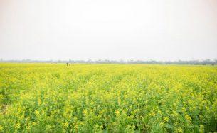 Cánh đồng hoa cải vàng tực rỡ ở Thái Bình