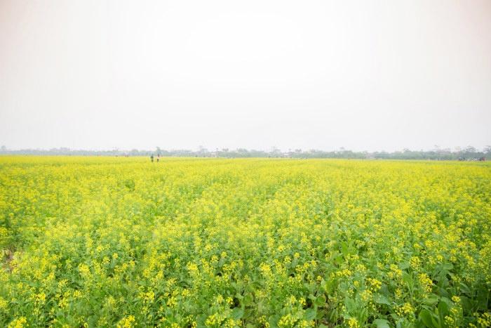 Cánh đồng cải ở thôn Hội Khê, xã Hồng Lý, huyện Vũ Thư, tỉnh Thái Bình rộng khoảng 10 ha nằm bên bờ sông Hồng. Bước vào tháng 12, cả khu vực trồng cải dần nở rộ và bắt đầu phủ vàng cả miền quê lúa.