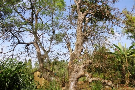 Cây lộc vừng cổ thụ có chiều cao 22 m, tán rộng