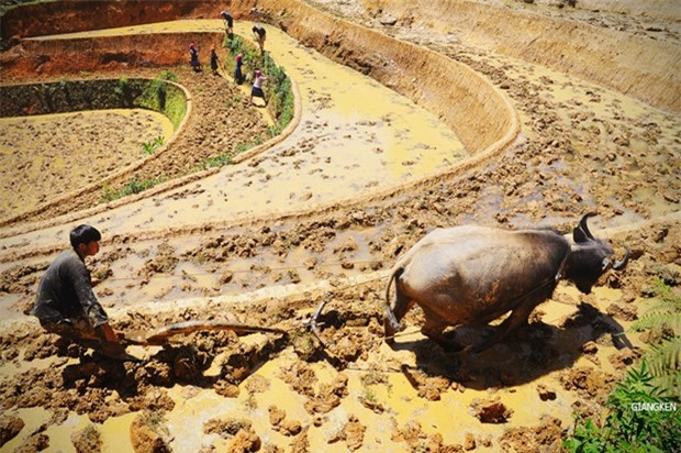 Chỉ trồng một vụ trong năm nên đến mùa này đồng bào người Mông, người Thái lại phải san gạt lại mặt nền, nén chặt bờ ruộng để dẫn nước vào
