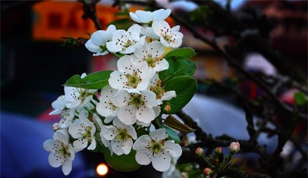 Đẹp ngỡ ngàng màu trắng hoa lê trên vùng cao Tây Bắc