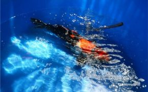 Độc đáo du lịch cá Koi