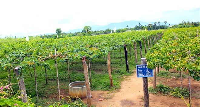 Vườn nho Thái An