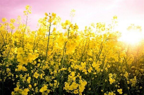 Thiên đường hoa cải vàng ở Đức
