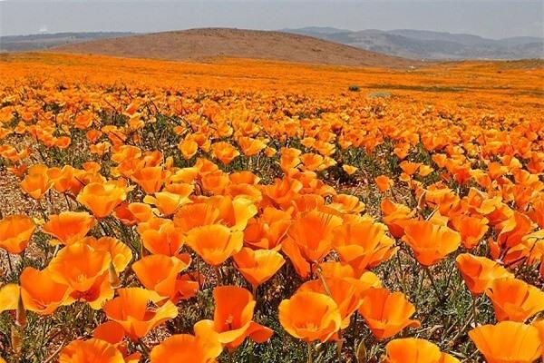 Thiên đường hoa poppy ở California