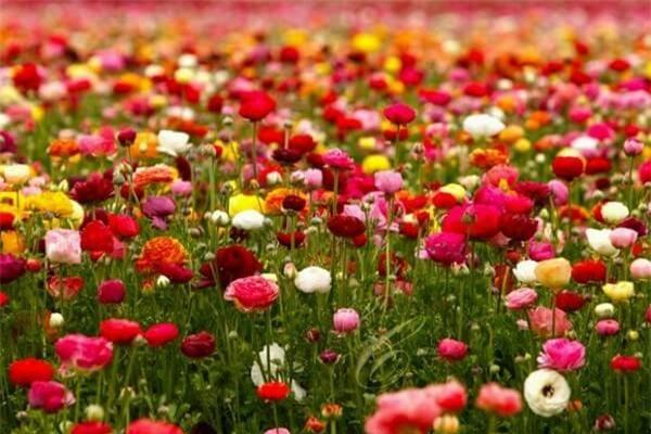 Thiên đường hoa mao lương ở San Diego, California