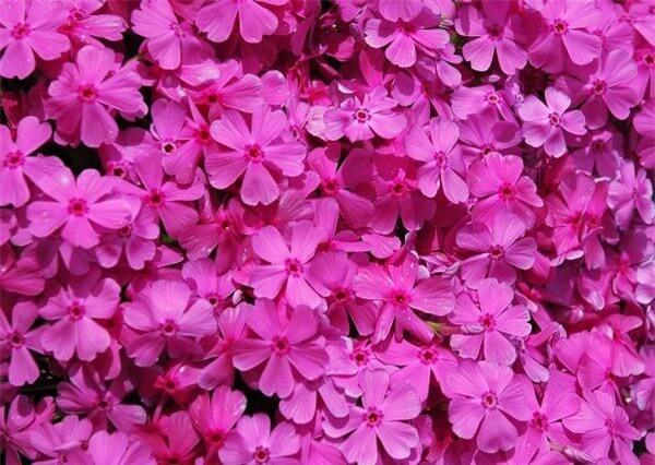 Thiên đường hoa chi anh ở Nhật Bản