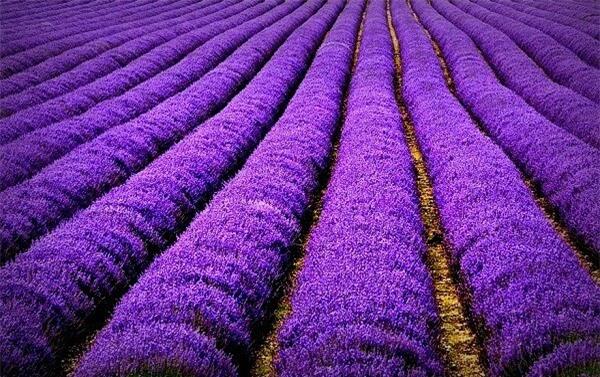 Thiên đường hoa oải hương ở Y Lê, Tân Cương, Trung Quốc
