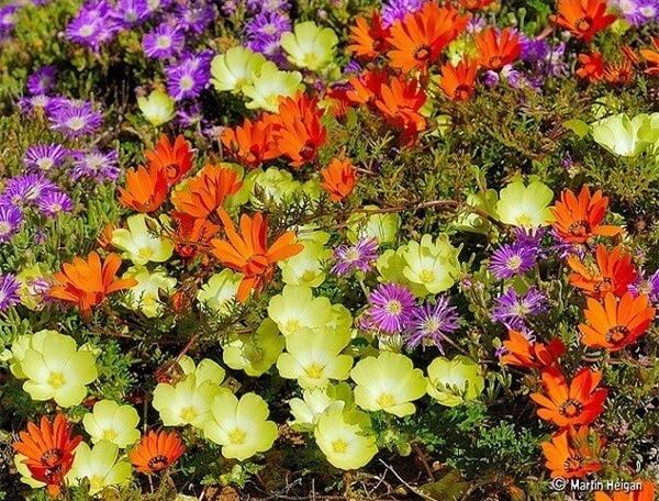 Thiên đường hoa cúc ở Namaqualand