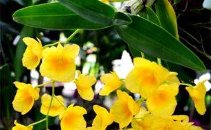 Ngắm các loại hoa lan khoe sắc đón Xuân