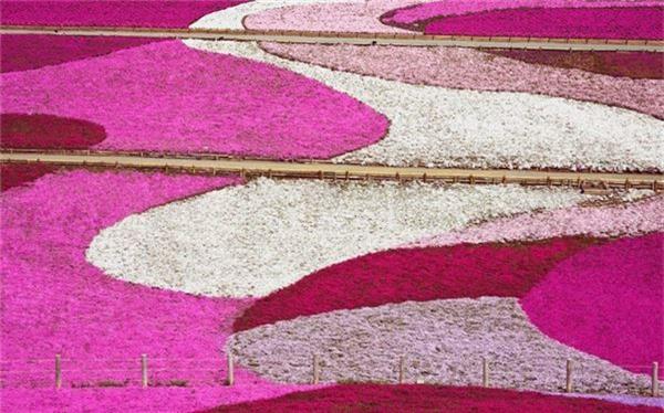 Đồi Shibazakura nằm trong công viên Hitsujiyama, nhìn ra thành phố Chichibu. Có khoảng 400.000 cây hoa hồng, 1.000 cây anh đào nở rộ vào giữa tháng 4 và 5 trên ngọn đồi trải rộng 17.600 mét vuông này.