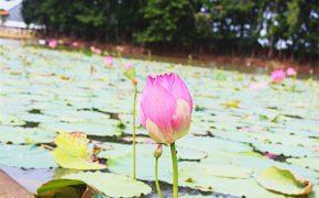 Thăm Búng Bình Thiên ngắm bông nhút rực rỡ mùa nước nổi