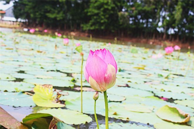 Búng Bình Thiên, du lịch An Giang, bông nhút, mùa nước nổi, du lịch miền Tây