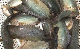 Xôi cá rô, món ngon của đất Thành Nam