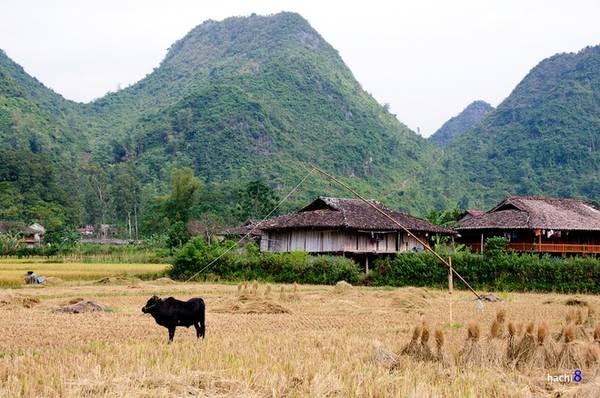Đến Bắc Sơn những ngày mùa sẽ dễ thấy những chú bò được cột lại bằng cần trục tre buộc một hòn đá nặng. Nó giúp bò không đi lạc phá hoại những chỗ chưa thu hoạch và cũng không dẫm phải dây.