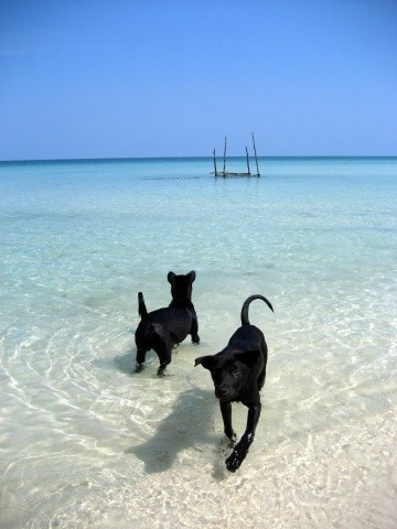 Những chú chó Phú Quốc nô đùa cùng biển