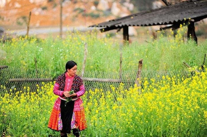 Sắc vàng hoa cải ngày xuân vùng cao - Ảnh: Tran Anh Linh
