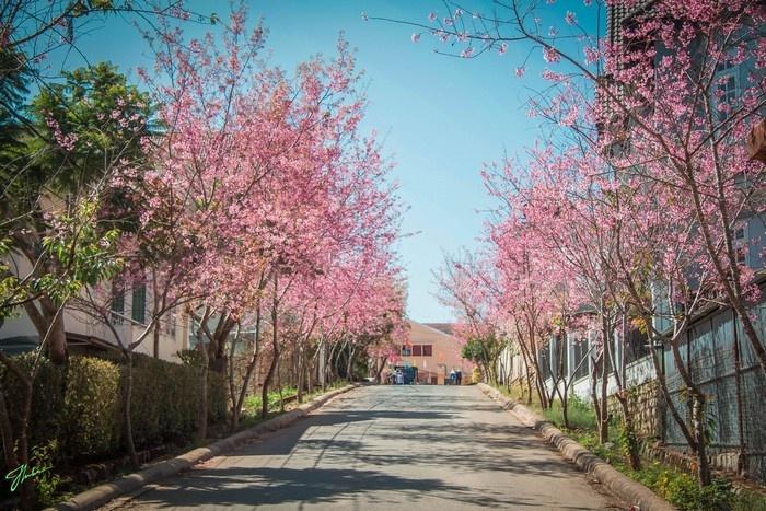 Con đường hoa anh đào mùa xuân ở Đà Lạt  - Ảnh: Tai Nguyen