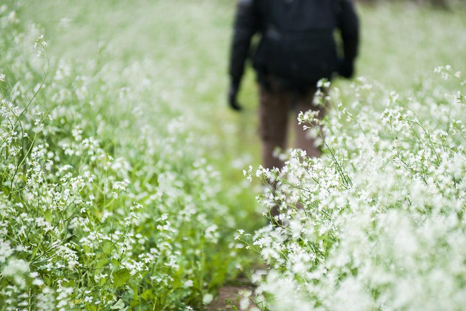 Hoa cải không giống những loài hoa khác bởi nó là một loại rau, mộc mạc và giản dị như cái chính cái tên của nó.