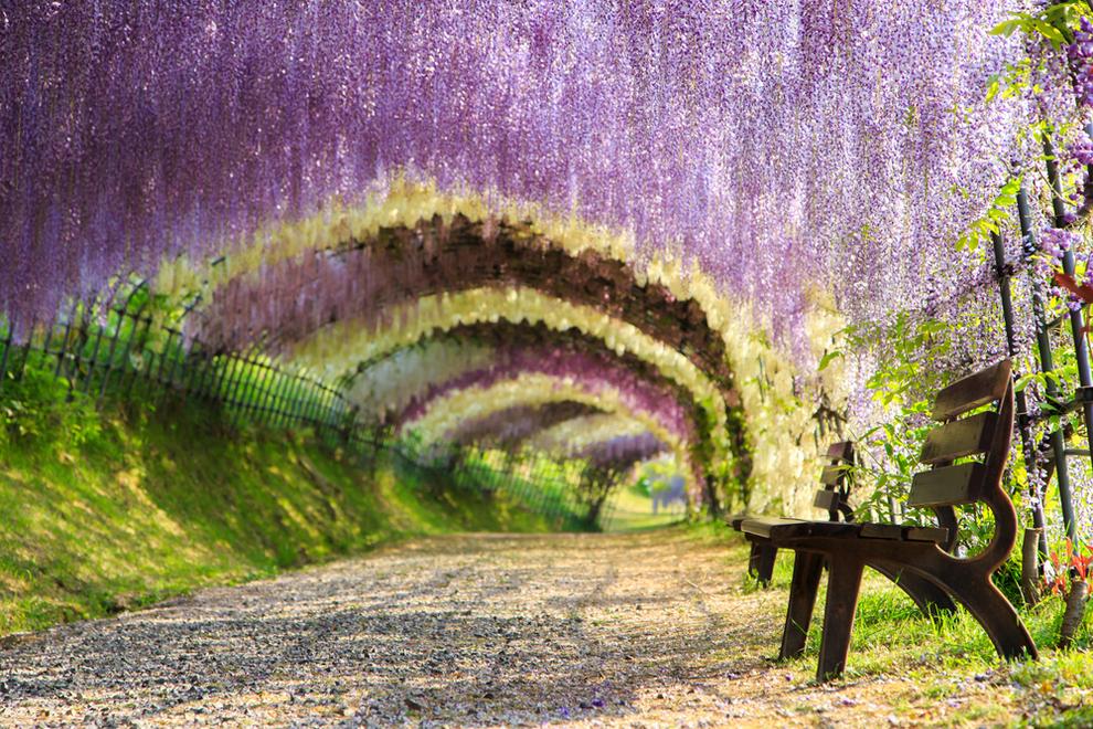 Đường hầm hoa Tử Đằng đầy màu sắc