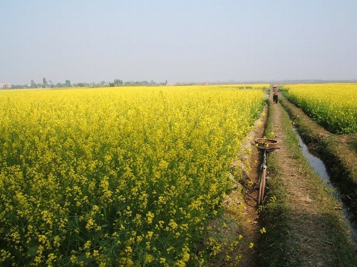Từ những triền núi, triền đồi vùng trung du, cho đến ngoại ô Hà Nội, bạn sẽ tìm thấy những đồng cải vàng rực, nở bừng như nắng vàng đọng lại trên lá cây. - Ảnh: Sưu tầm
