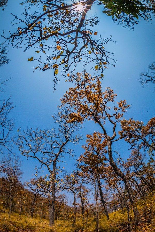 Rừng khộp Tây Nguyên ở Vườn Quốc gia Yok Đôn chính là khu rừng chúng mình đang nói đến đây. - Ảnh: Sưu tầm