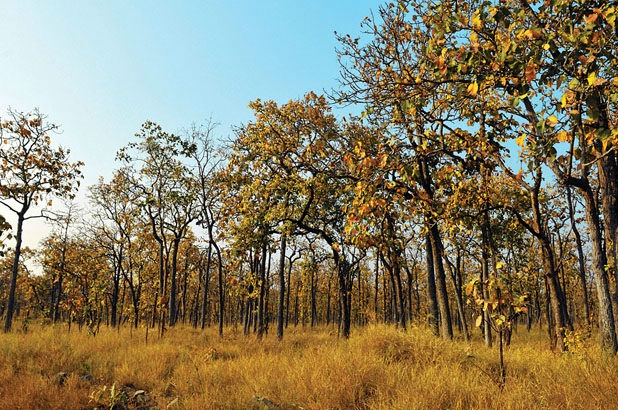 Cây trong rừng khộp phần lớn là cây thuộc họ dầu lá rộng: cà chít, cẩm liên, bằng lăng trắng….  - Ảnh: Sưu tầm
