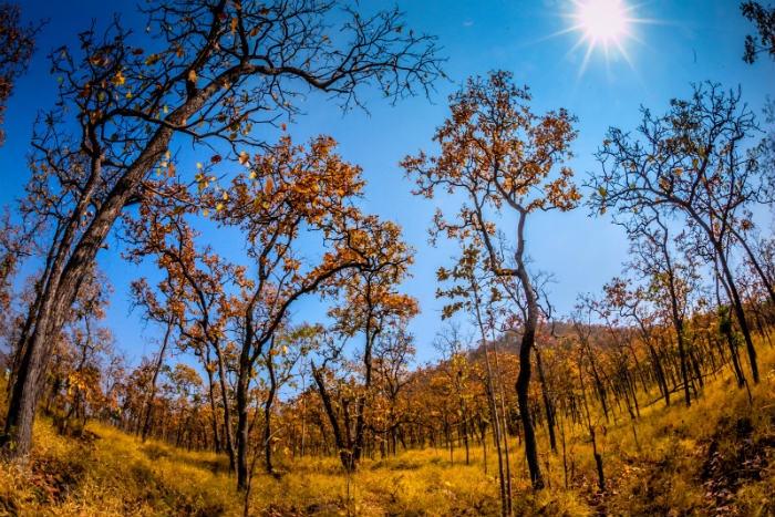 Vào mùa thu, rừng khộp thay lá, màu lá vàng rực, nhuộm vàng cả một khoảng trời xanh sẽ khiến bạn liên tưởng ngay đến cảnh trong một bộ phim nào đó về mùa thu Đông Á hay mùa thu châu Âu. - Ảnh: Sưu tầm