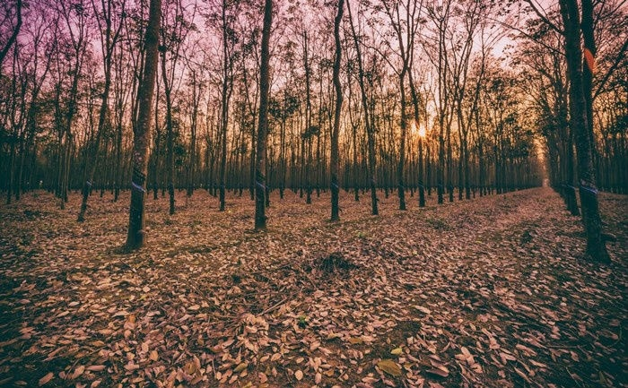Một lựa chọn khác cho những bạn trẻ yêu khám phá và thiết tha muốn trải nghiệm mùa thu vàng giữa Việt Nam - hãy tìm ghé rừng cao su mùa thay lá. - Ảnh: Sưu tầm