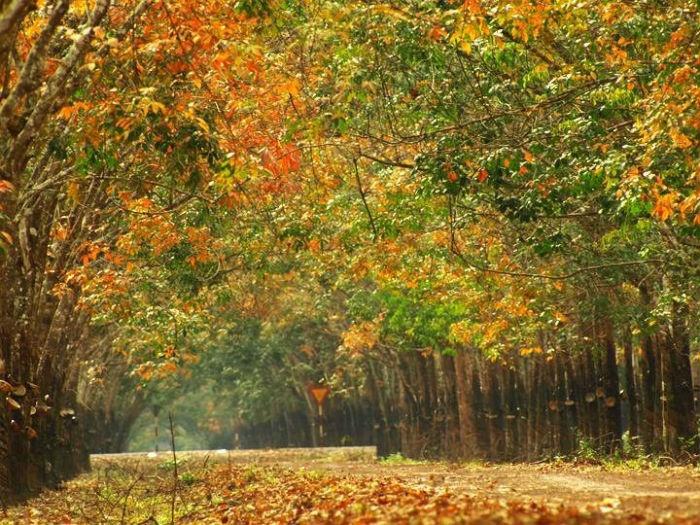 .Tạo nên một khung cảnh đẹp như tranh khi cả khu rừng cùng hoà vào một sắc vàng đỏ ấm áp của mùa thu. - Ảnh: Sưu tầm