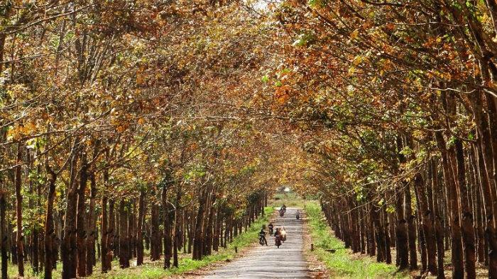 Trên trời là những tán lá đã chuyển dần sang cam, còn dưới mặt đất là một lớp lá khô vàng úa, càng khiến khung cảnh trở nên rực rỡ, thơ mộng. - Ảnh: Sưu tầm