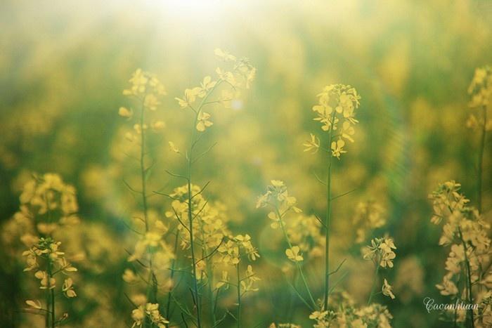 Ngắm đồng hoa cải vàng, đẹp nhất là ở những nẻo đường Mộc Châu.. - Ảnh: Sưu tầm