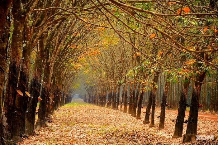 Một vài địa điểm có thể kể đến ở đây là rừng cao su Gia Lai, Bình Dương, Đồng Nai… - Ảnh: Sưu tầm