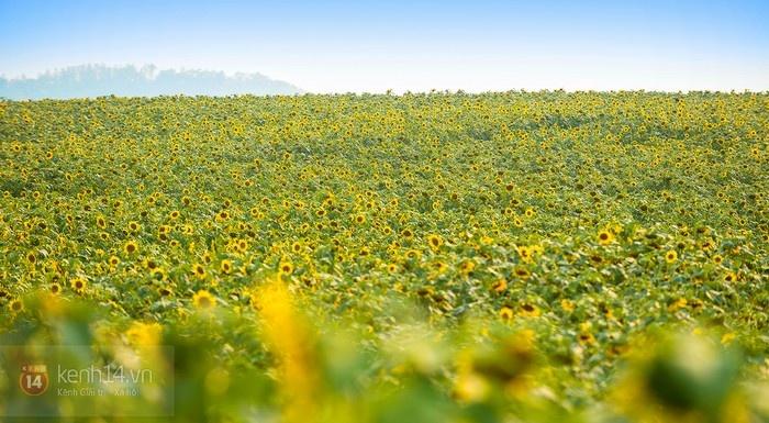 Ngây ngất qua ảnh hay mơ mộng gì nữa, bởi ở Việt Nam cũng có một cánh đồng hoa hướng dương ở Nghệ An. - Ảnh: Kiên Nguyễn