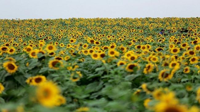 Trời Nghệ An mùa thu vẫn xanh rất xanh, cộng với màu vàng ngút ngàn, rực rỡ của hoa... - Ảnh: Sưu tầm