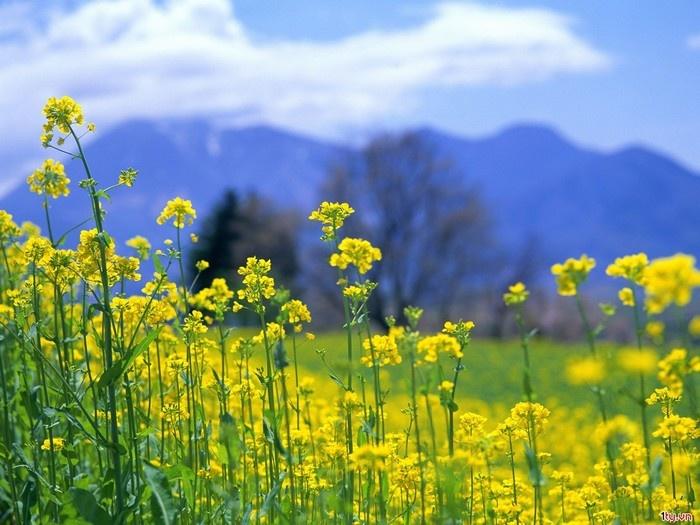 ..vừa được ngắm cảnh núi rừng hùng vĩ, lại được đắm mình trong những cánh đồng cải đang mùa nở rộ. - Ảnh: Sưu tầm
