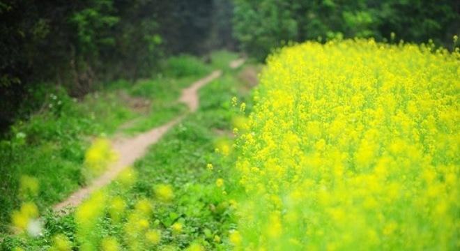 ..cứ ghé những vườn cải ven thành phố, như hoa cải ở Gia Lâm.. - Ảnh: Sưu tầm