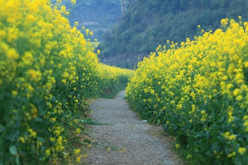 ..hoặc chạy thẳng ra Bắc Ninh, tìm đến dọc bên bờ sông Đuống cũng có một đồng hoa cải. - Ảnh: Sưu tầm