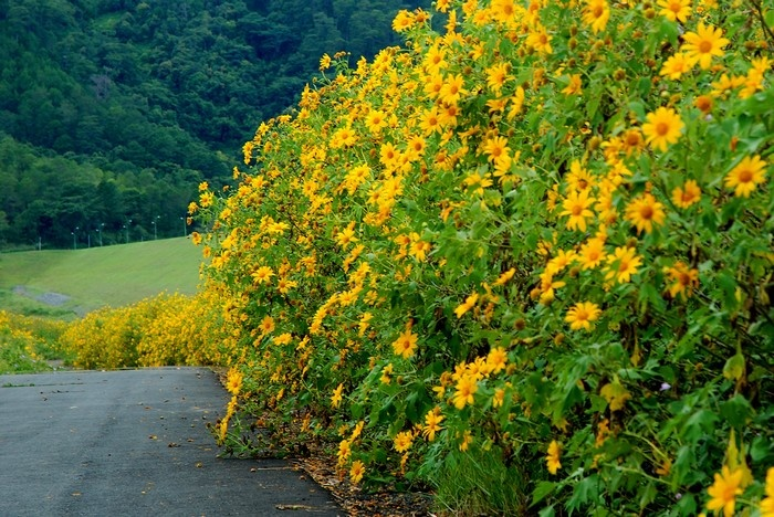 Giống như cái tên, hoa dã quỳ mỏng manh với sắc vàng dịu dàng, như nắng của một buổi chiều về muộn. - Ảnh: Sưu tầm