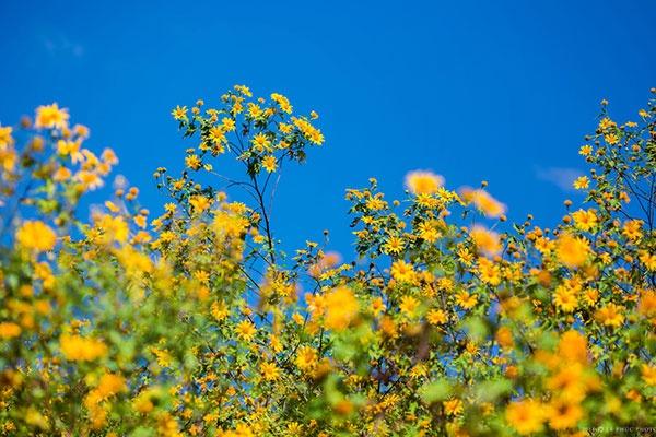 Thường thì hoa dã quỳ sẽ được trồng ở những vùng cao.. - Ảnh: Sưu tầm