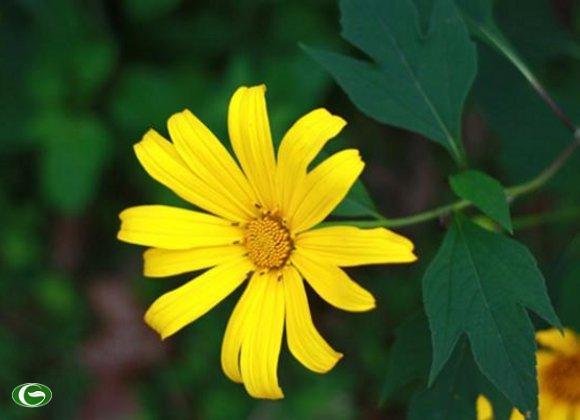 Hoa cúc quỳ hay còn gọi là hoa dã quỳ, hoa sơn quỳ, hoa hướng dương dại… được người Pháp đưa về trồng trên núi Ba Vì từ những năm 30 của thế kỷ trước.