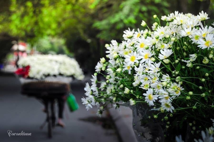 … từng vòng xe đầy ắp cúc họa mi như chở đông về Hà Nội - Ảnh: Cao Anh Tuấn