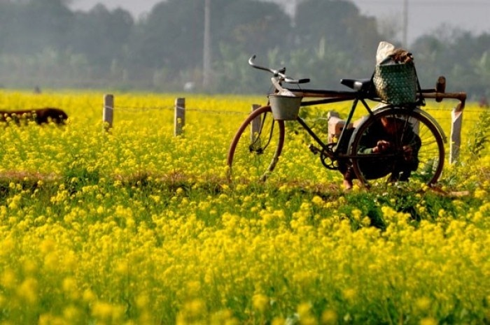 Chân trời hoa cải an yên như thế tại làng quê Hồng Lý, Thái Bình- Ảnh: Mai Thanh Hải