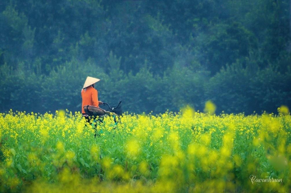 Hà Nội cũng có cánh đồng hoa cải vàng….- Ảnh: Cao Anh Tuấn
